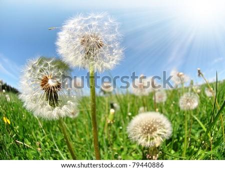 Dandelion - shot fisheye - stock photo