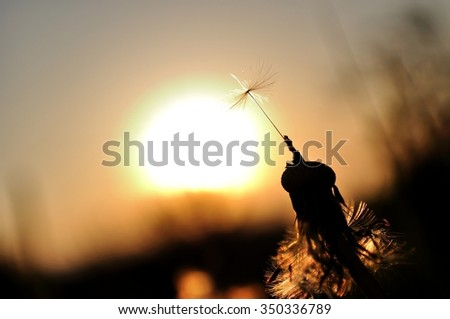 Dandelion silhouette at sunset with last seed - stock photo