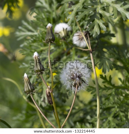 Dandelion - Spring flower close up - stock photo