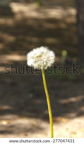 Dandelion, spring flower. Light nature background. Place for text - stock photo