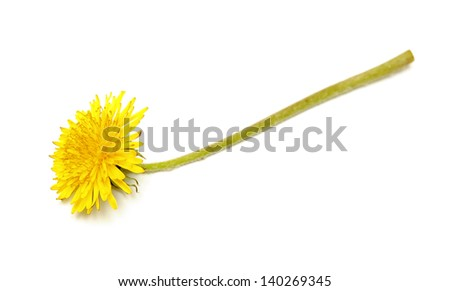 Dandelion (Taraxacum) flower on white background - stock photo