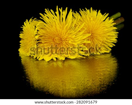 Dandelion (Taraxacum Officinale) flower on a black background with reflection - stock photo