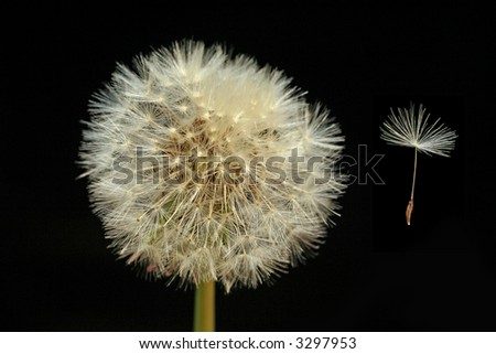 Dandelion (Taraxacum officinale) seed head and seed floating in the wind - stock photo