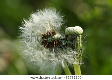Dandelion (Taraxacum) seeds after blooming