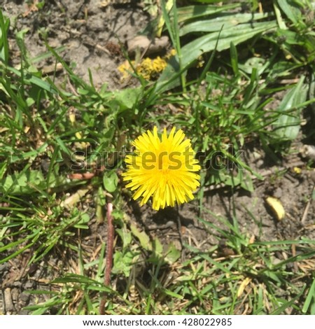 Dandelion - top view. Dandelion - spring flowers. Healthy dandelion. Dandelions yellow flowers. - stock photo