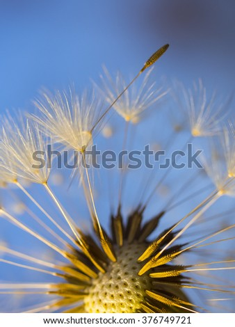 Dandelion tranquil abstract closeup art background / first gentle spring young beautiful herbal alternative medicine flowering / white softness pappus healing herb   - stock photo