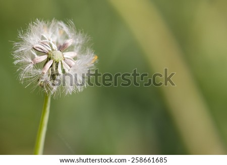 Dandelion Tuft - stock photo