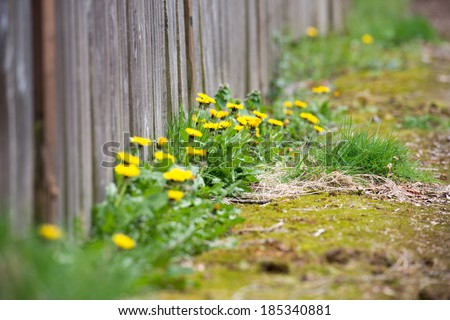 Dandelion Weeds Growing Along Sidewalk and Fence - stock photo