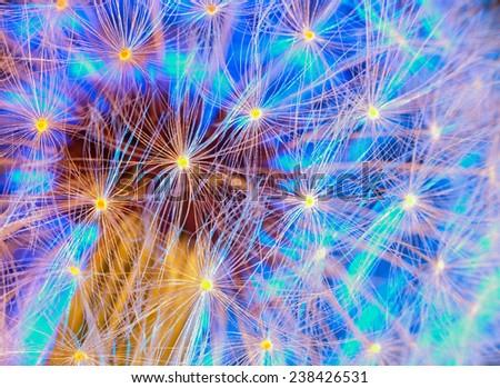 Dandelion with a beautiful blue backlight. macro - stock photo