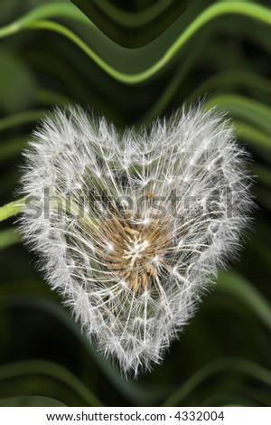 Dandelion with distorted form - stock photo