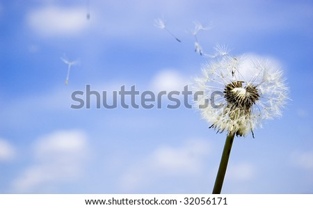 Dandelion with flying seeds over blue sky.