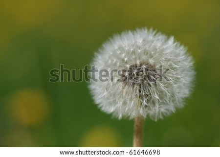 Dandelion with green background. Shallow depth of field. - stock photo