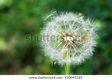 Dandelion with green grass background - stock photo