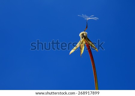 Dandelion with lonely seed on a clear blue sky background.  Close up. - stock photo