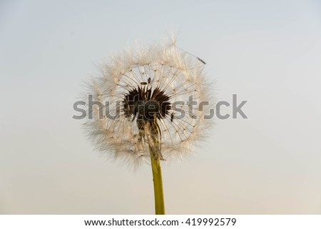dandelion with luminous seed