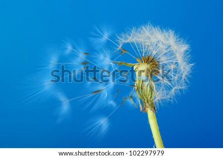 Dandelion with moving seeds on a blue background. Detailed picture of a flower