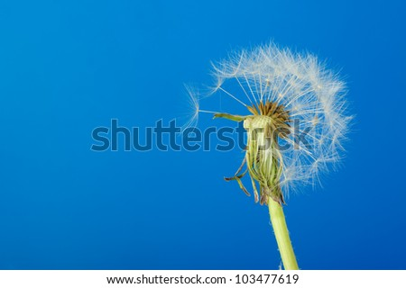 Dandelion with partial seeds. Detailed picture of a flower