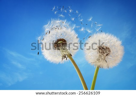 Dandelion with seeds blowing away in the wind across a clear blue sky with copy space - stock photo