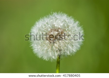 Dandelion with seeds isolated on green blurred background. Taraxacum officinale, Plantae kingom, Asterales order, Asteraceae family, Cichorieae tribe, Taraxacum genus. Medical herb, flowering blossom - stock photo