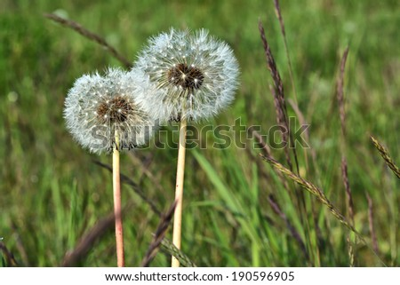 Dandelion with seeds on a meadow in spring
