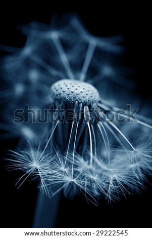 dandelion with seeds ready for dispersal - stock photo