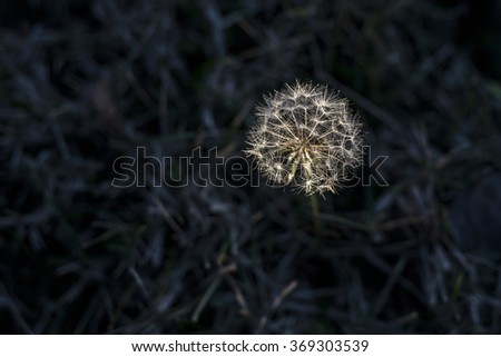 Dandelion with water drops on black background - stock photo