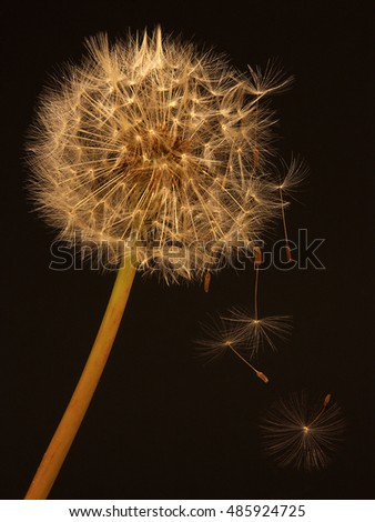 dandelion with with falling seeds on black background