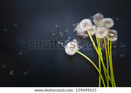 dandelions and flying seeds on a black background - stock photo