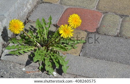 Dandelions are in the urban environment. - stock photo