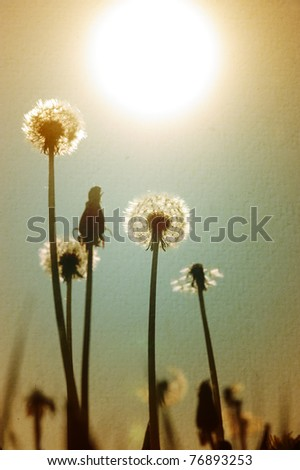 Dandelions at dusk against the sunlight - stock photo