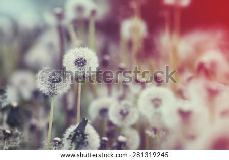 Dandelions Field Vintage Retouch and Shallow Depth of Field - stock photo