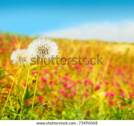 Dandelions flowers field, spring landscape of wildflower meadow - stock photo
