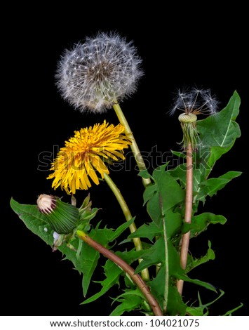 dandelions, from a bud to seeds on a black background - stock photo