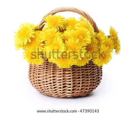 Dandelions in a basket. Isolated over white. - stock photo