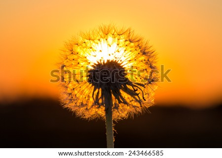 Dandelions in meadow at a red sunset - stock photo