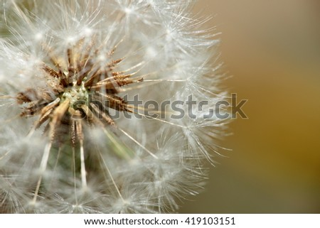 dandelions in spring photographed close