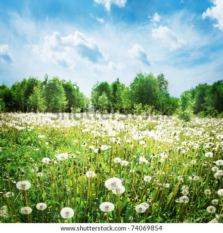 Dandelions in the field. - stock photo
