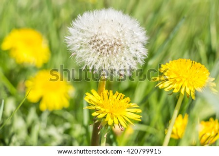 Dandelions in the meadow. Bright flowers dandelions on background of green meadows. - stock photo