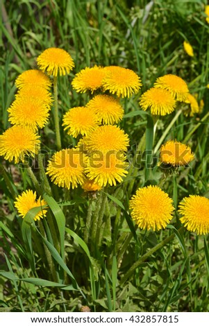Dandelions in the spring meadow. Bright flowers dandelions on background of green meadows. - stock photo