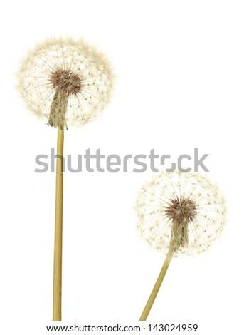 Dandelions isolated on white - stock photo