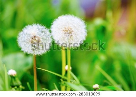 Dandelions on a bright green background. The effect of soft focus. Shallow depth of field. Selective focus. - stock photo