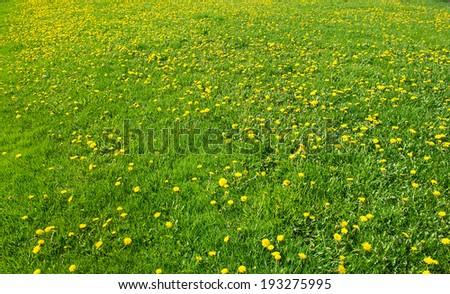 Dandelions on a green meadow - stock photo