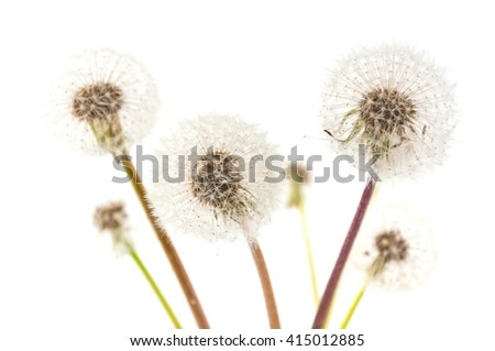 Dandelions on a white background.
