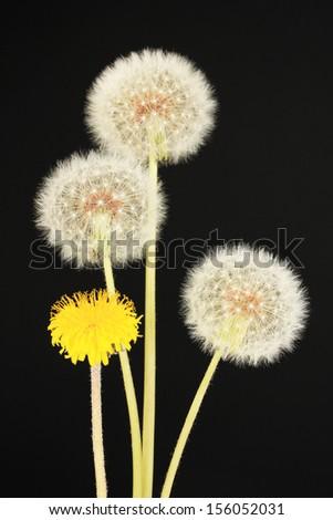 Dandelions on black background - stock photo