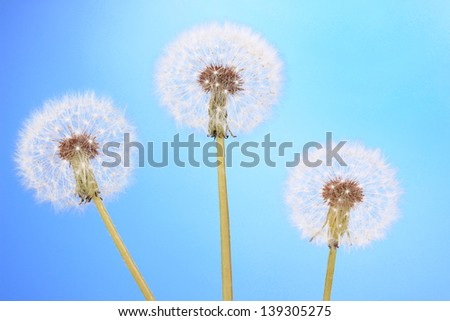 Dandelions on blue background - stock photo