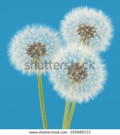 Dandelions on blue background - stock photo