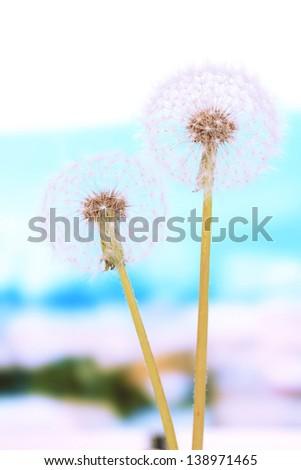 Dandelions on bright background - stock photo