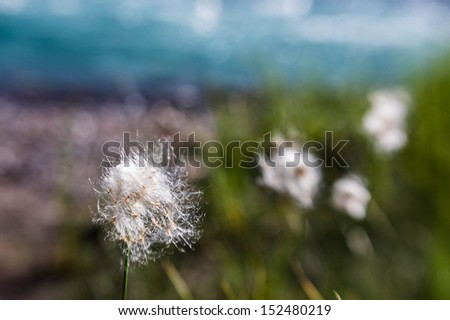 Dandelions on the bank of the Bow River, Alberta, Canada - stock photo