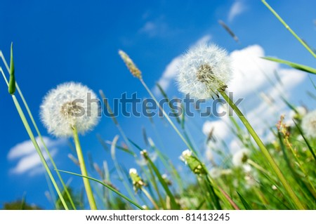 Dandelions on the meadow and blue sky - stock photo