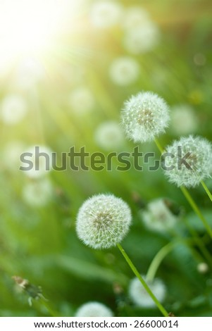 Dandelions under sun rays. Close up. - stock photo